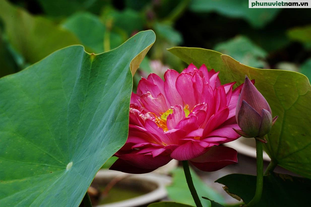 Chiêm ngưỡng những loại hoa sen độc lạ vào mùa tại Hà Nội - Ảnh 17.