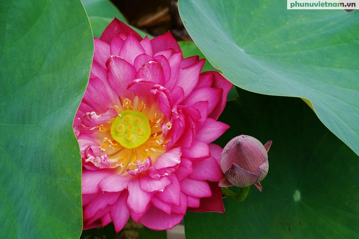 Chiêm ngưỡng những giống hoa sen độc lạ vào mùa tại Hà Nội - Ảnh 19.