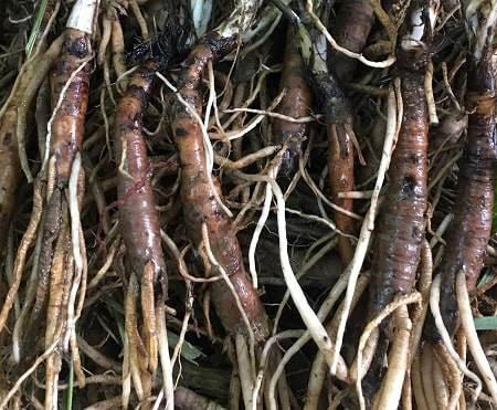 12 tác dụng bồi bổ và tăng cường sức khoẻ của củ sâm đất - Ảnh 3.