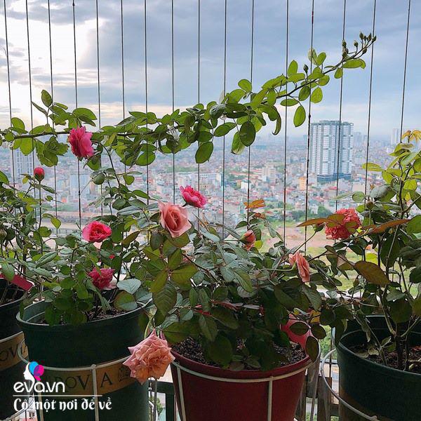 Biến ban công 3m² thành vườn hồng, vợ ngày nào cũng gửi ảnh hoa cho chồng ngắm - Ảnh 10.
