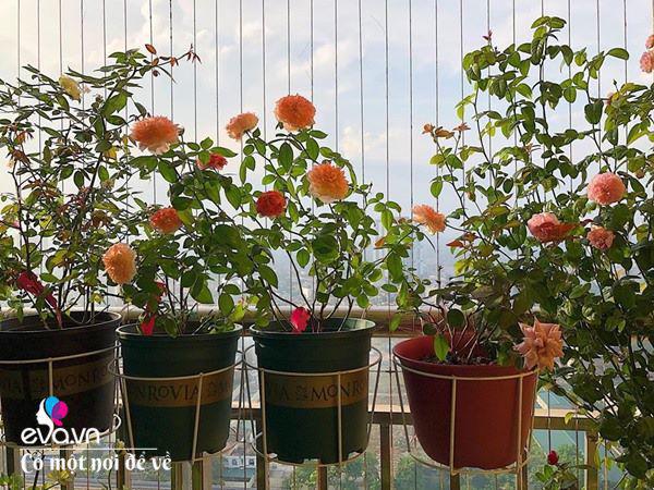 Biến ban công 3m² thành vườn hồng, vợ ngày nào cũng gửi ảnh hoa cho chồng ngắm - Ảnh 3.