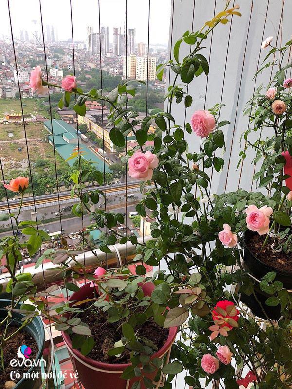 Biến ban công 3m² thành vườn hồng, vợ ngày nào cũng gửi ảnh hoa cho chồng ngắm - Ảnh 8.