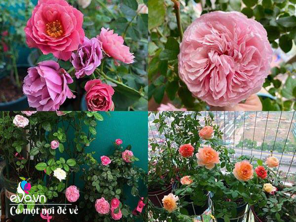 Biến ban công 3m² thành vườn hồng, vợ ngày nào cũng gửi ảnh hoa cho chồng ngắm - Ảnh 2.