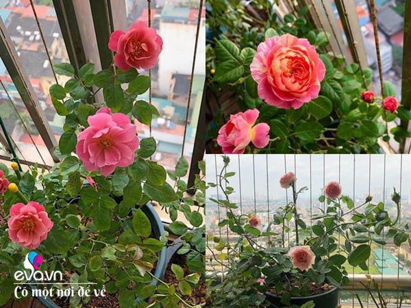 Biến ban công 3m² thành vườn hồng, vợ ngày nào cũng gửi ảnh hoa cho chồng ngắm - Ảnh 6.