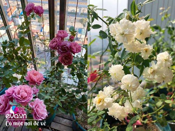 Biến ban công 3m² thành vườn hồng, vợ ngày nào cũng gửi ảnh hoa cho chồng ngắm - Ảnh 9.