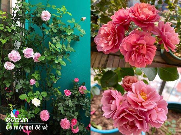 Biến ban công 3m² thành vườn hồng, vợ ngày nào cũng gửi ảnh hoa cho chồng ngắm - Ảnh 4.