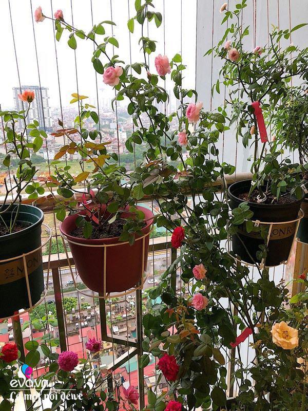 Biến ban công 3m² thành vườn hồng, vợ ngày nào cũng gửi ảnh hoa cho chồng ngắm - Ảnh 5.
