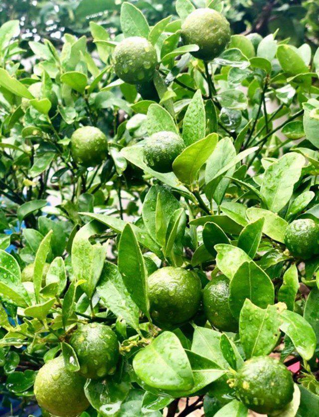 Ở nhà tránh dịch, Quyền Linh cùng vợ con lên sân thượng gỡ khoai lang, thu hoạch hoa trái - Ảnh 5.