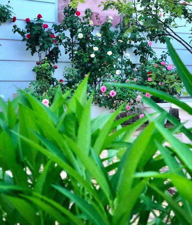 Ở nhà tránh dịch, Quyền Linh cùng vợ con lên sân thượng gỡ khoai lang, thu hoạch hoa trái - Ảnh 11.