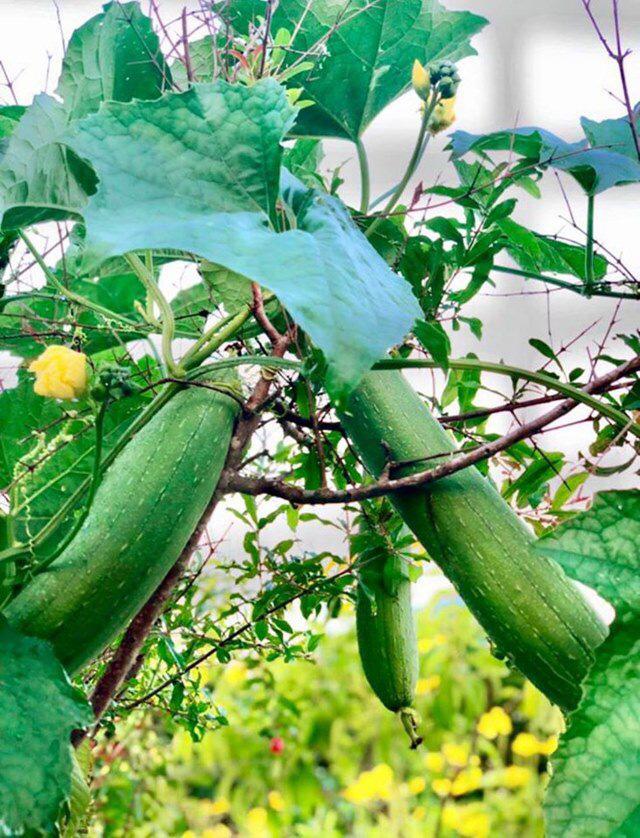 Ở nhà tránh dịch, Quyền Linh cùng vợ con lên sân thượng gỡ khoai lang, thu hoạch hoa trái - Ảnh 4.
