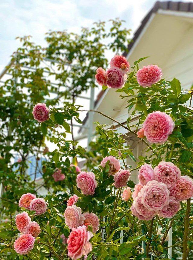 Ở nhà tránh dịch, Quyền Linh cùng vợ con lên sân thượng gỡ khoai lang, thu hoạch hoa trái - Ảnh 7.