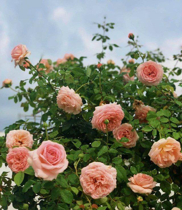Ở nhà tránh dịch, Quyền Linh cùng vợ con lên sân thượng gỡ khoai lang, thu hoạch hoa trái - Ảnh 8.