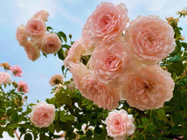Ở nhà tránh dịch, Quyền Linh cùng vợ con lên sân thượng gỡ khoai lang, thu hoạch hoa trái - Ảnh 9.