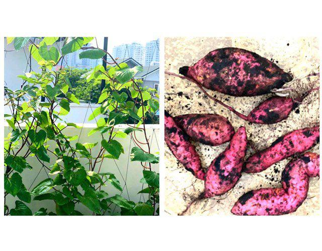 Ở nhà tránh dịch, Quyền Linh cùng vợ con lên sân thượng gỡ khoai lang, thu hoạch hoa trái - Ảnh 6.