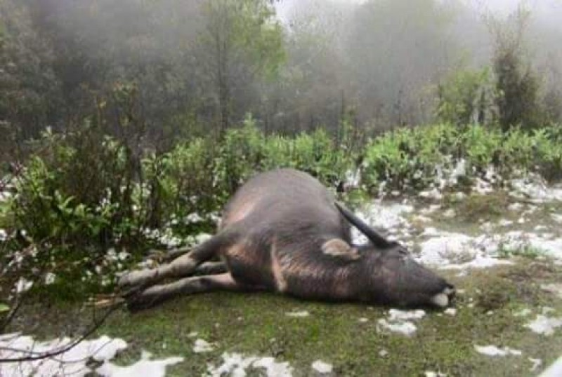 Trâu chết, người trắng tay vì giá rét » Báo Phụ Nữ Việt Nam
