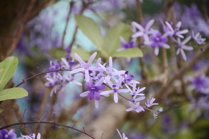 Nhiều cây mai xanh cũng được đưa đến Hội hoa Xuân 2018 để du khách chiêm ngưỡng.