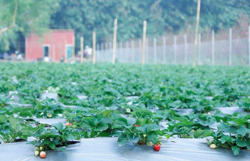 Dâu tây đều được đem từ Mộc Châu (Sơn La) về và trồng theo phương pháp thủy canh tại khu vực ven sông Hồng thuộc Nhật Tân (Q.Tây Hồ, Hà Nội).