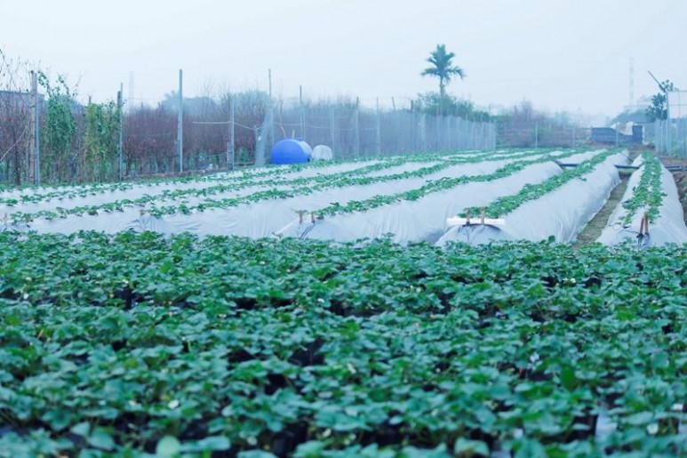 Vườn dâu ngoài trời được trồng theo phương pháp thủy canh dưới đất, thành từng luống với diện tích khai thác là 2.500m2.