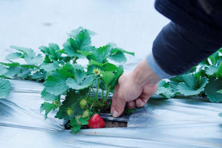 Mỗi luống đều được phủ nilon để hạn chế các loại nấm, cỏ dại, vi khuẩn gây hại cho cây và giữ ấm gốc trong những ngày sương giá, cùng với hệ thống tưới nước tự động dưới gốc cây nhằm đảm bảo điều kiện dinh trưởng tốt nhất.