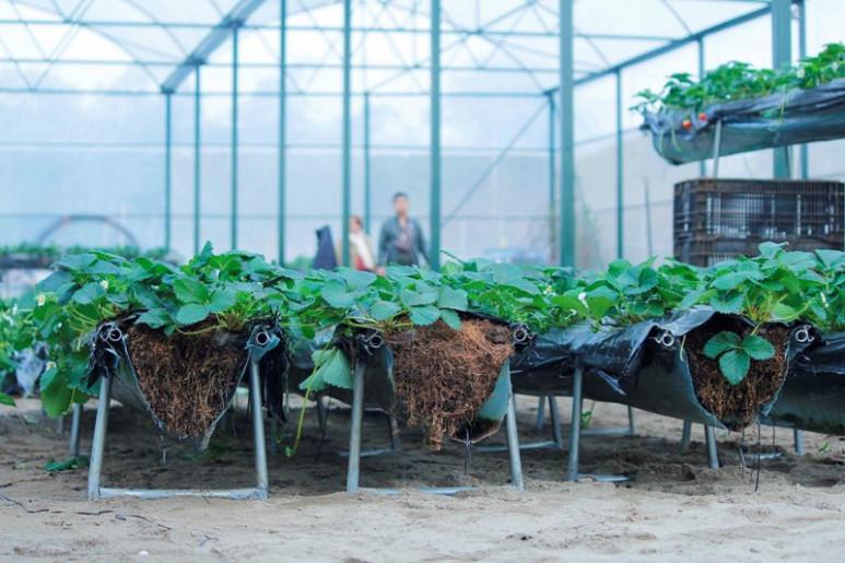 Khu vực nhà kính với diện tích 500m2, được sử dụng để trồng một số ít gốc dâu theo phương pháp thủy canh trên giá thể, và dự kiến được sử dụng làm khu vực bán và chế biến sản phẩm làm từ dâu tây.