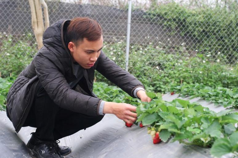 """Anh Nguyễn An Phương, quản lý bán hàng của vườn dâu, cho biết: """"Nhiệt độ mùa đông và mùa xuân ở Hà Nội không quá chênh lệch nhiệt độ ở Mộc Châu nên không ảnh hưởng đến sự phát triển của dâu tây. Dâu từ khi ươm ngó cho đến khi ra quả sẽ mất khoảng 2,5 tháng. Đối với dâu tây trồng ở Hà Nội, mùa thu hoạch sẽ từ tháng 12 đến hết tháng 3 năm sau""""."""