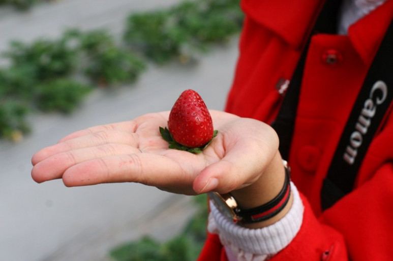 Toàn bộ dâu tây tại vườn đều là giống dâu Nhật Bản có vị ngọt thanh mát và chua dịu.