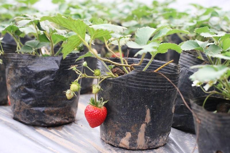 Khách đến tham quan có thể mua cây dâu đã trưởng thành với giá 30.000đ-40.000đ/cây đem về chăm sóc.