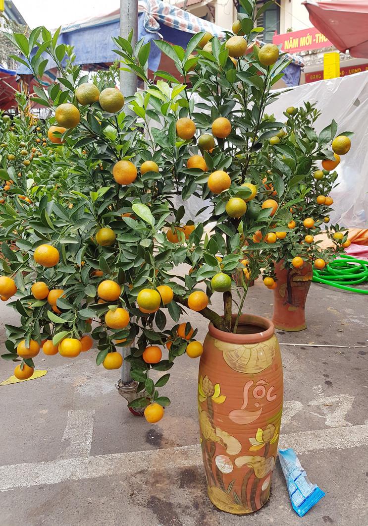Năm nay, quất bonsai vẫn phổ biến ở chợ hoa, bình to giá từ 1 triệu đến 1,5 triệu đồng, bình nhỏ giá 300.000 - 500.000 đồng