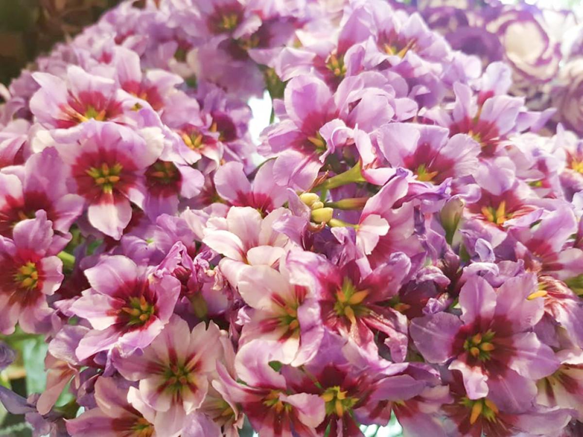 Có những loài hoa chưa từng xuất hiện tại Việt Nam như hoa Leucocoryne có mùi thơm ngọt ngào, hoa Cosmos, Sweet pea, Gloriosa, Delphinium, Oxypetalum....