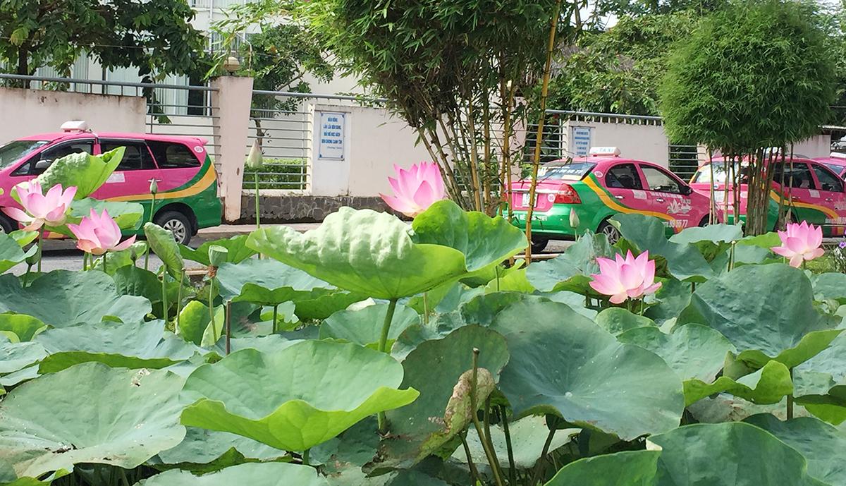 Hoa sen thấp thoáng hòa mình và những chiếc taxi trên phố cũng được sơn màu của sen.