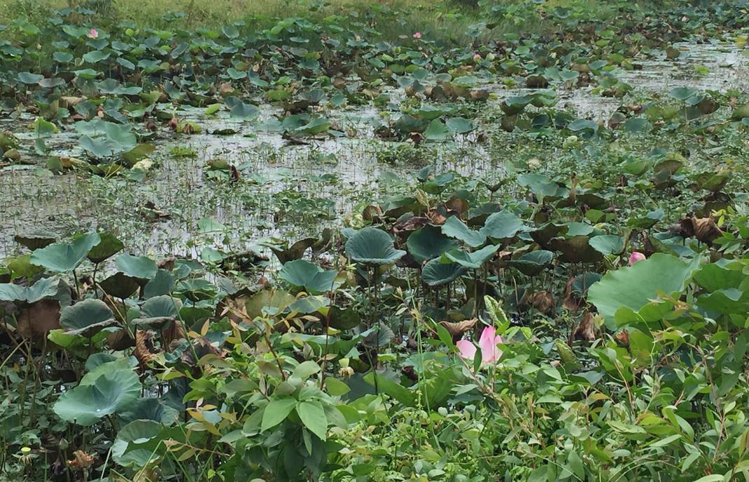 Trên đoạn đường từ TP Cao Lãnh về huyện Thanh Bình dài chừng hơn 20 km nhưng cứ đi một đoạn lại thấp thoáng xuất hiện một đầm sen.