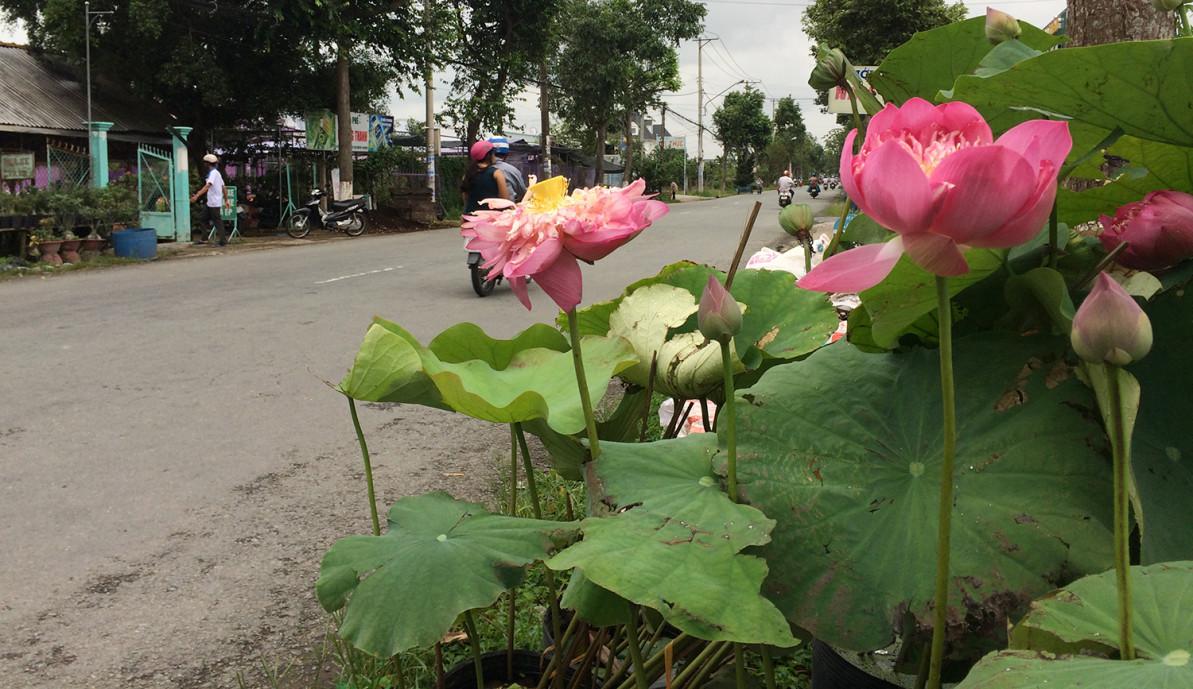 Ở ấp Khánh Hòa, xã Tân Khánh Đông, TP Sa Đéc, sen được người dân trồng làm kiểng vào các chậu nhỏ, đặt la liệt ngay ven tỉnh lộ.