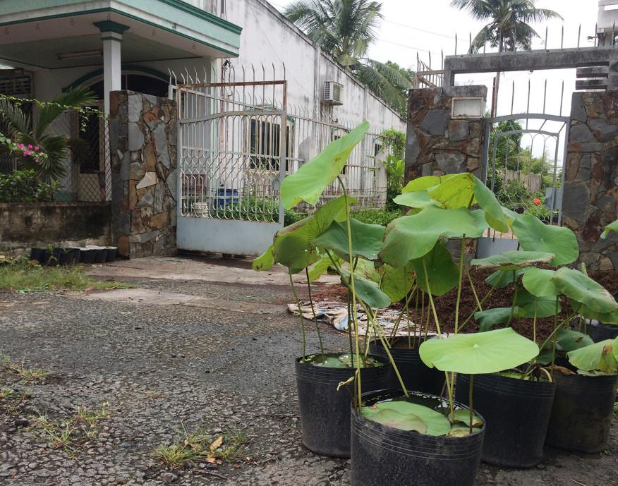 Trong nhiều gia đình, sen được trồng trong các chậu, chum thuyền cũ… giữa sân nhà.
