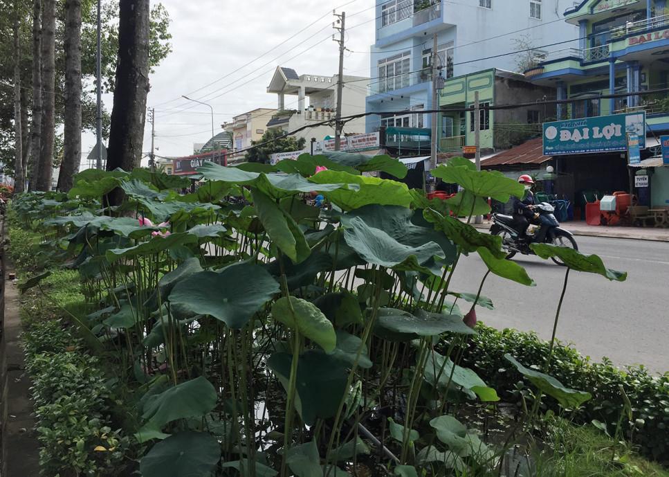 Tại trục giữa phân chia hai làn của đường Phạm Hữu Lầu, Phường 6, Thành phố Cao Lãnh, cứ cách chừng 15-20 m lại có một bồn sen với những bóng sen hồng thấp thoáng giữa dòng xe...