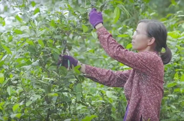 Cô gái Thái Nguyên nâng niu hương vị xứ trà  - Ảnh 2.
