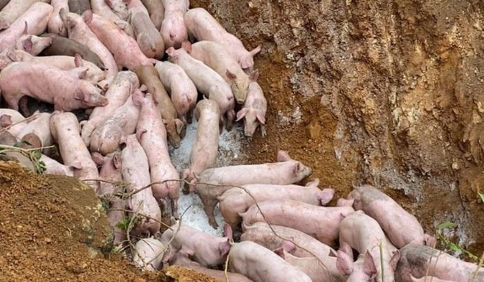 Triệu tập người vứt bỏ đàn lợn gần 100 con bị bệnh bên vệ đường ở Thanh Hóa - Ảnh 1.