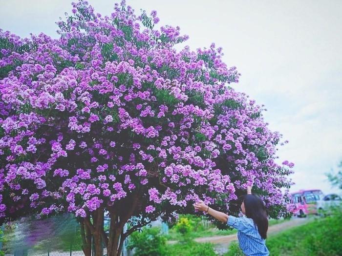 Giới trẻ đổ xô check-in với cây bằng lăng cô đơn ở Bình Thuận - Ảnh 6.