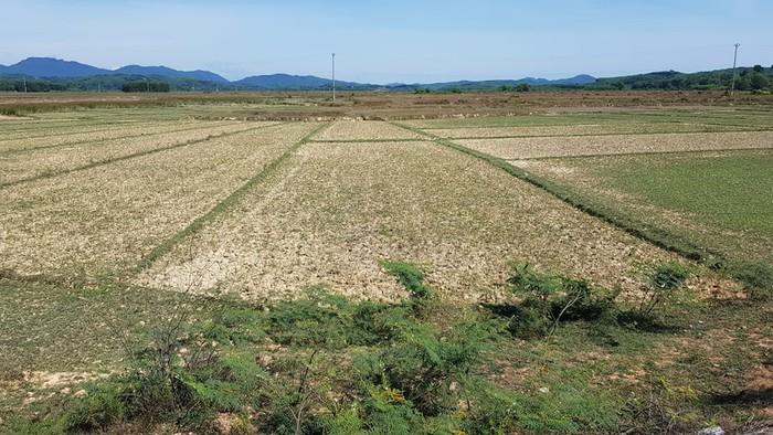 Hàng trăm hecta lúa, hoa màu đã không thể canh tác vì nắng nạn kéo dài.