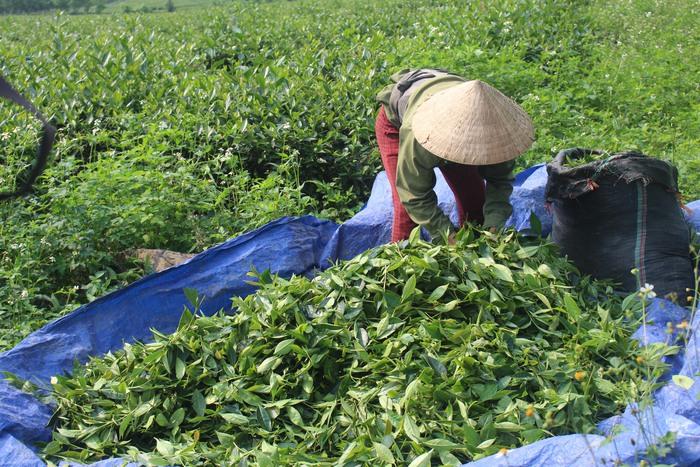 Người dân trồng chè lao đao do rớt giá thảm hại - Ảnh 2.