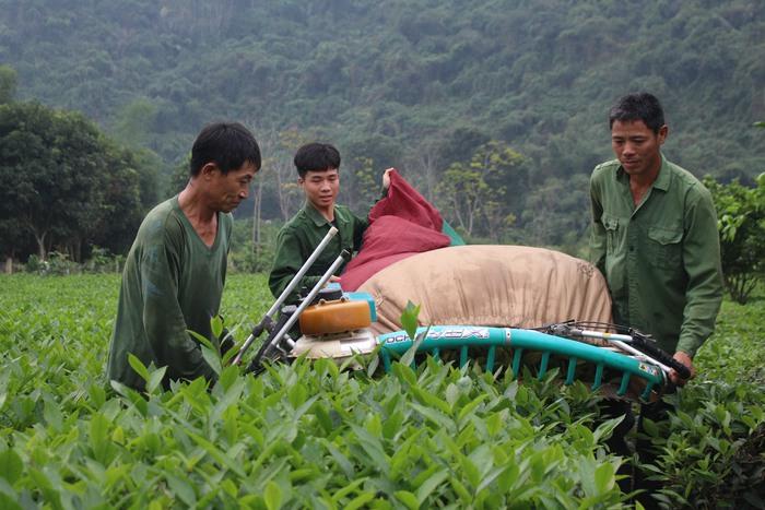 Người dân trồng chè lao đao do rớt giá thảm hại - Ảnh 1.