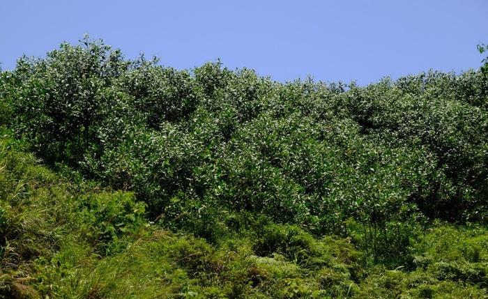 Rừng keo của hộ dân tại tỉnh Cao Bằng được Quỹ 1 triệu cây xanh cho Việt Nam và Vinamilk tặng cây giống, đến nay đã vươn lên xanh mướt