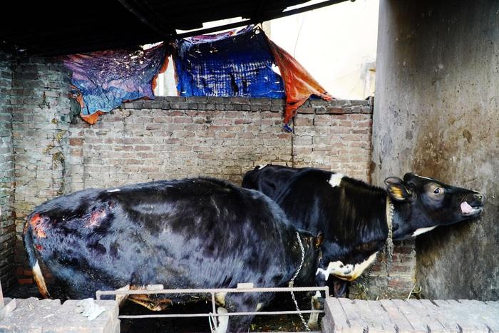 Đốt lửa qua đêm chống rét cho bò sữa, không may bị cháy cả chuồng - Ảnh 6.