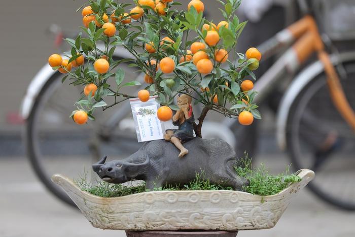 """""""Trâu cõng quất bonsai"""" giá tiền triệu vẫn hút khách - Ảnh 7."""