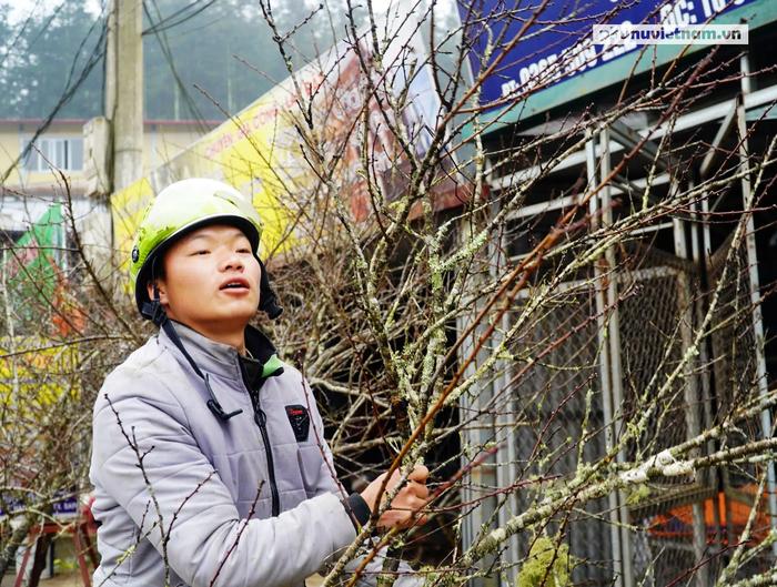 """""""Lào Cai không có đào rừng, việc mua bán diễn ra bình thường"""" - Ảnh 6."""
