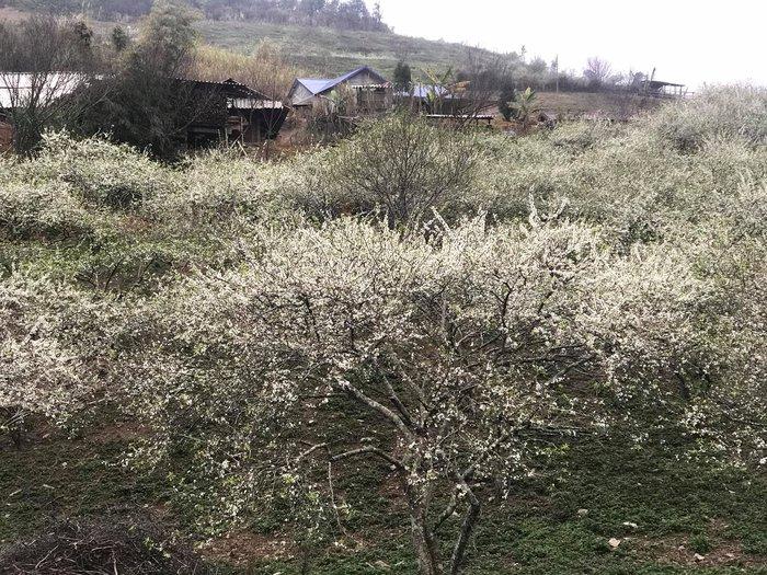 Mê mải với Xuân biên cương hồng rực đào phai và hoa mận trắng - Ảnh 3.