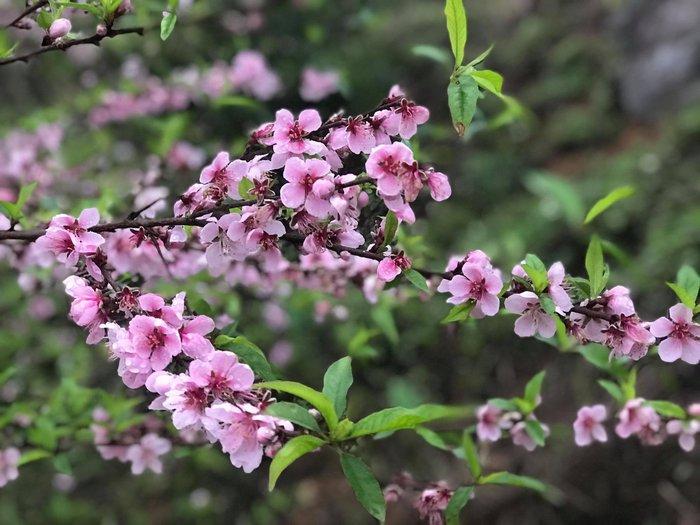 Mê mải với Xuân biên cương hồng rực đào phai và hoa mận trắng - Ảnh 1.