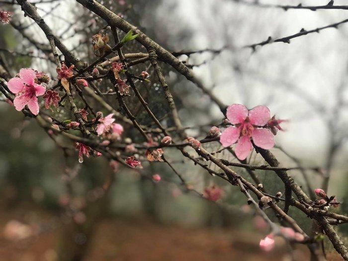 Mê mải với Xuân biên cương hồng rực đào phai và hoa mận trắng - Ảnh 4.