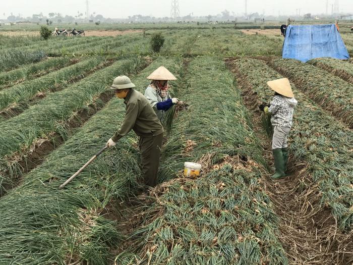 Hải Dương: Hơn 65.000 tấn nông sản cần nơi tiêu thụ sớm - Ảnh 2.