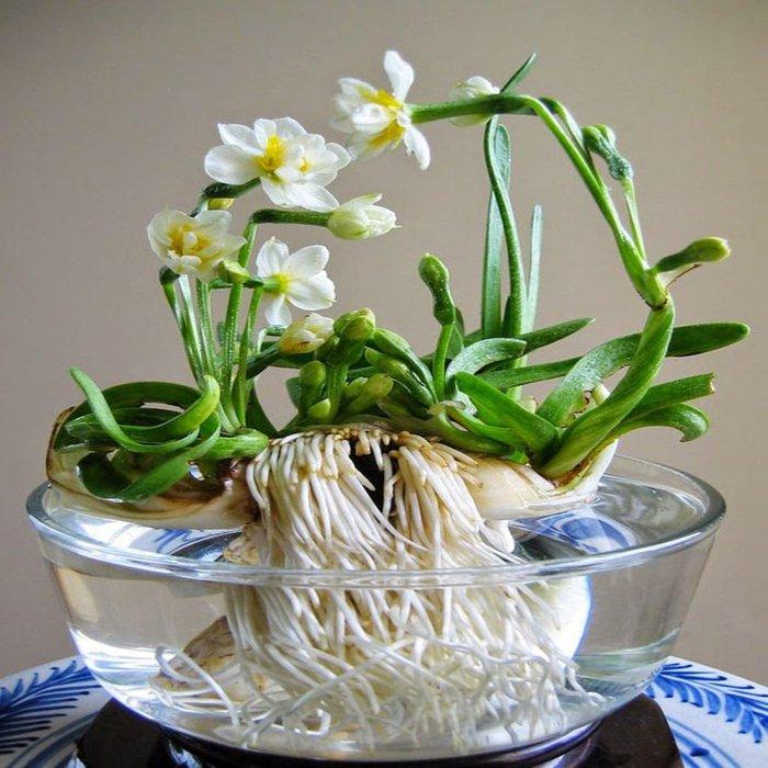 Sắm Tết 2021: Cách chọn và chăm sóc hoa thủy tiên bừng nở ngày đầu năm  - Ảnh 1.