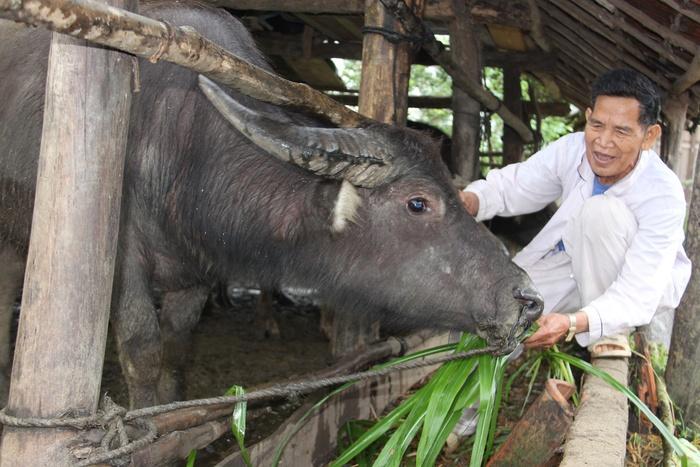 Tết năm Sửu, thăm những người dân nuôi trâu ở đất võ Bình Định - Ảnh 1.